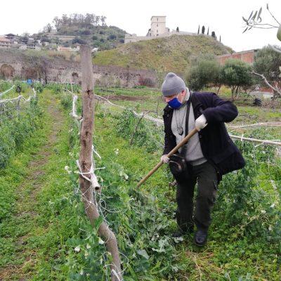 San Filippo, Polizia Municipale estirpa coltivazione di piselli in zona di casi di favismo