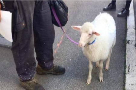 VIDEO – Coronavirus: passeggia a Palermo con una pecora, multato