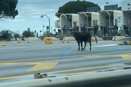 """VIDEO – Casello di Villafranca: tre mucche in autostrada! Angelo Passari: """"Il Cas non può abbandonare il campo"""""""