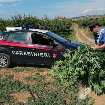 San Pier Niceto (Me): coltiva piante di Cannabis. Arrestato dai Carabinieri.