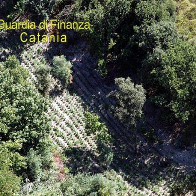 Sequestrata maxi piantagione di marijuana nel catanese